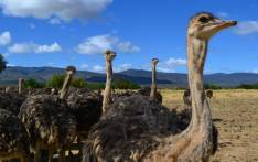 FILE: Some 144 ostrich farms are currently under quarantine. Picture: EWN.