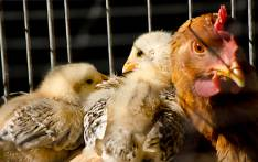 FILE: The government has placed a general ban on the sale of live hens throughout the country. Picture: sxc.hu.