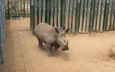 Rhino. Picture: Christa Eybers/EWN.
