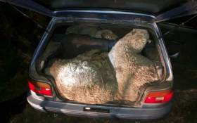 One of the six sheep is seen in the boot of a Toyota Tazz. Picture: SAPS.