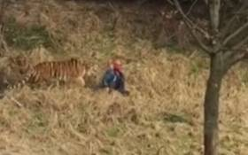 A screengrab of a man being mauled being a tiger at a Chinese zoo.