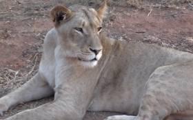A lioness at Lion Park, Johannesburg. Picture: EWN.