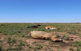 Cattle carcasses on the fields of a farm in Free State. Picture: Christa Eybers/EWN.