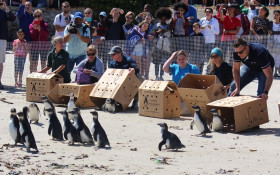 Join SANCCOB's Annual Penguin Festival in Simon's Town
