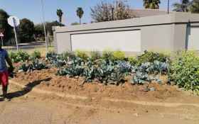 Tshwane man in hot water over cabbage patch outside house has gone viral