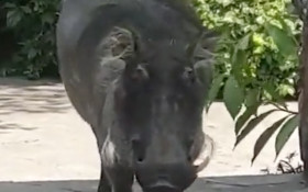 [WATCH] Warthog attacking man who tried to pat it goes viral