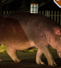 Fourways residents urged to report location of hippo roaming the urban jungle