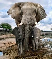 [WATCH] Elephant  killing crocodile stalking its calf goes viral