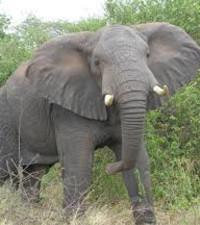 Raging Bull Elephant