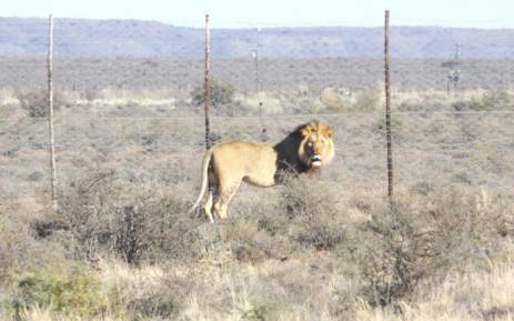 FILE: SANParks say the lion, named Sylvester by locals, has escaped from the Karoo National Park. Picture: SANParks.