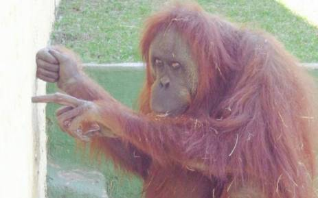 The Kloof and Highway SPCA says it will lodge a case against the Natal Zoo Gardens owner Brian Boswell to have an orangutan released. Picture: /Emily CorkeEWN.