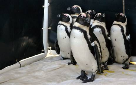 Rescued penguins recover at the Sancobb seabird centre in Cape Town on 3 September 2012 after another oil leak from the wreck of the Seli 1 off Bloubergstrand. Picture: Aletta Gardner/EWN