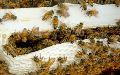 FILE: A hive of bees. Picture: freeimages.com