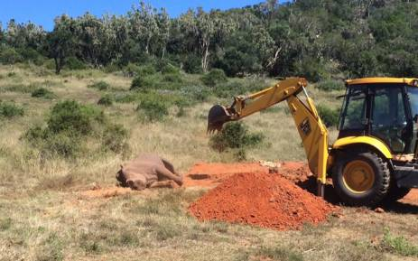 Bingo the rhino being buried after he died from injuries sustained during a poaching attack. Picture: Sibuya Rhino Foundation
