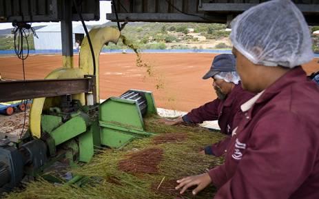 FILE: Farmworkers process rooibos in the Cederberg region. Picture: Aletta Harrison/EWN