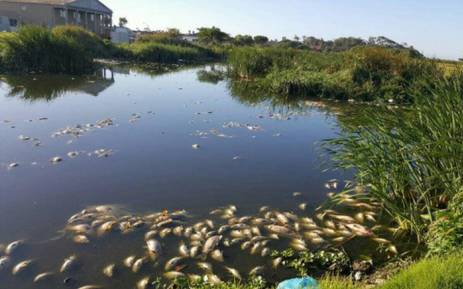 Dead fish have also been spotted in Keysers River, Westlake and Zandvlei areas. Picture: Siyabonga Sesant/EWN.