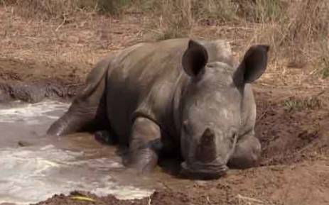 A baby rhino playing in the mud at the Rhino Orphanage in Limpopo on 21 September 2013. Picture: Christa Van der Walt/EWN.