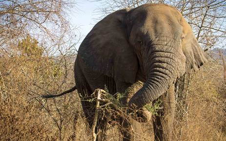 "FILE: Mutware, meaning ""Chief"", a large bull elephant in Rwanda's Akagera National Park. Picture: Thomas Holder/EWN."