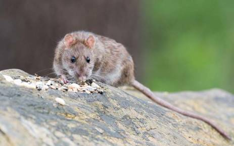 Up to 300,000 cases a year are carried by rats in Nigeria, Sierra Leone, Liberia and Guinea.Picture: Pixabay.com.