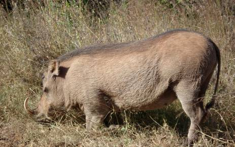 FILE: Wild animals including antelope, baboon and warthog were gunned down by international hunters. Picture: Freeimages.com.
