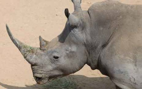 An estimated 293 rhino have been killed in the country since the beginning of the year. Picture: Christa van der Walt/EWN.