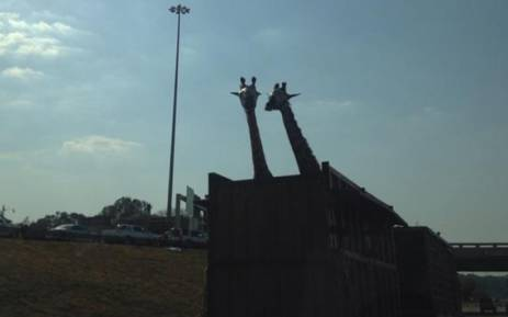 The giraffe hit it's head on the Garstfontein bridge. Picture: Twitter @PabiMoloi.