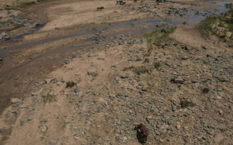 FILE: Emaciated cattle roam through the dried up Umfolozi River in Ulundi in KwaZulu-Natal as drought conditions affect South Africa. Picture: AFP.