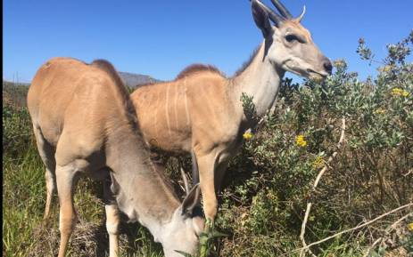 FILE. The Cape Town Environmental Education Trust says they are doing all they can to protect a herd of Eland from illegal hunting. Picture: Monique Mortlock/EWN.