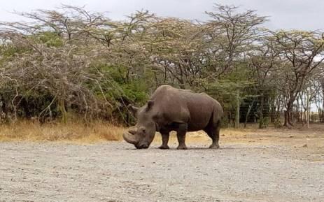 White rhino Sudan. Picture: @OlPejeta