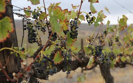 Farmers have been unable to harvest vineyards on a farm in Vredendal, in the Western Cape due to the current drought in the province. Picture: Christa Eybers/EWN