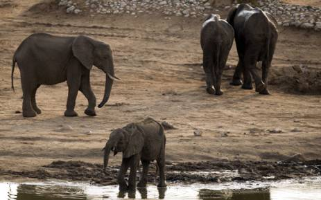 African Elephants In Hwange National Park Zimbabwe Picture AFP