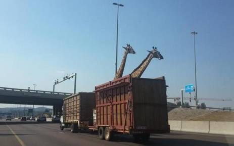 It's alleged two giraffe were stranded on the N1 highway when the truck carrying them broke down. Picture: Thinus Botha ‏@thinusb_, Twitter