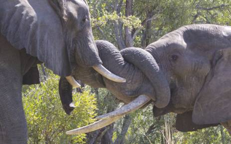 Officials retrieved at least 15 tusks after a poacher was shot dead close to Zimbabwe's Hwange National Park. Picture: bhejanetrust.org
