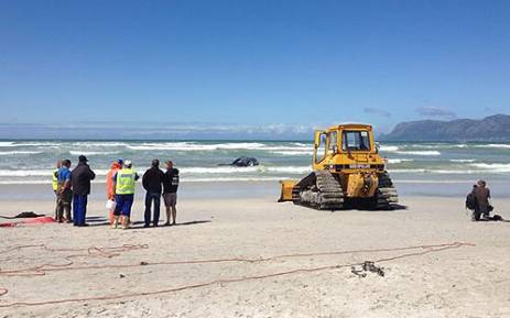 Cape Town officials are trying to remove a whale that washed up at Capricorn Beach on 8 October 2012. Picture: Aletta Gardner/EWN