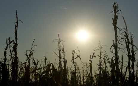 Extreme heat and dry conditions in corn-producing regions could ruin a quarter of South Africa's output this year.Picture: AFP