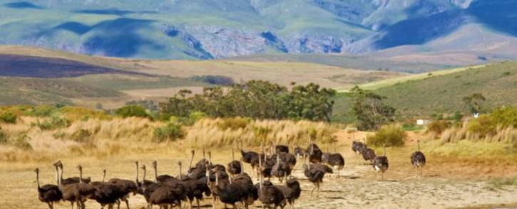 FILE: Cases of bird flu have been confirmed in the Western Cape. Picture: www.elsenburg.com