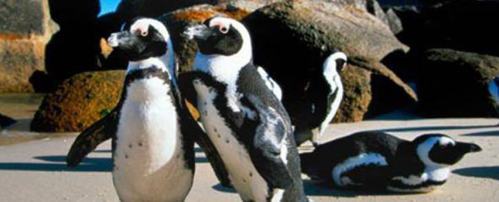 Penguins are seen at Boulders Beach near Simon's Town. Picture: Facebook.com.