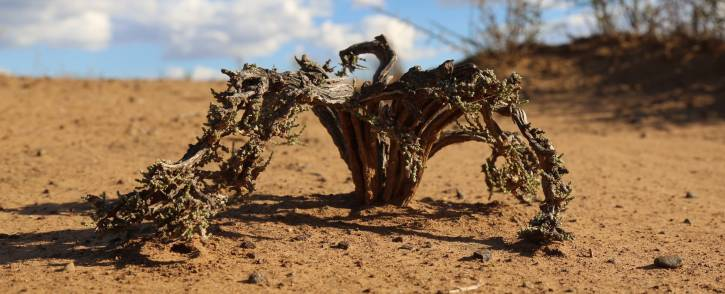 FILE: A dead plant in the drought-stricken Free State.  Picture: Christa Eybers/EWN.