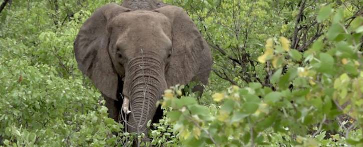 An elephant at the Kruger National Park. Picture: Louise McAuliffe/EWN.