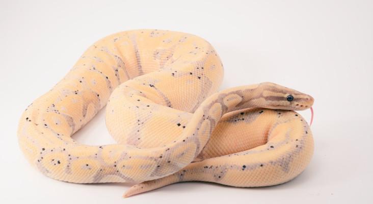 Whackhead's Prank: Venomous snakes on the loose