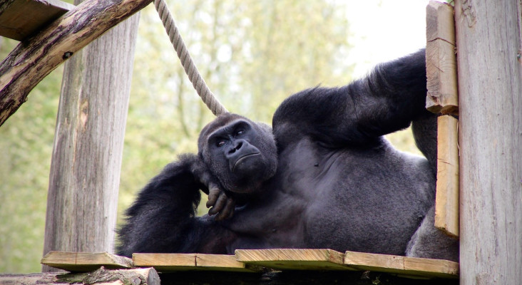 Senseless Survey: How strong would gorillas be if they did CrossFit?