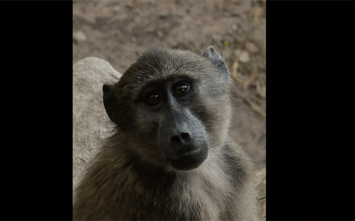 Scarborough community fighting for the future of baboons