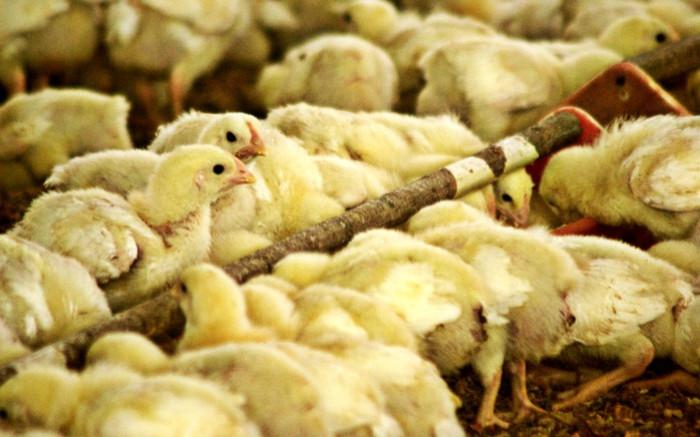 Bird flu outbreak confirmed in Gauteng, but 'no need to panic yet'