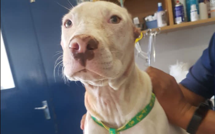 'There can be no excuse for this': Pitbull rescued after ears cut off