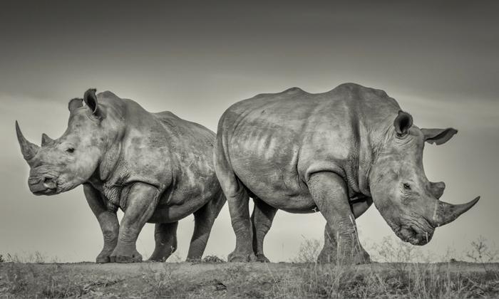 World Rhino Day. Credit: Gerry van der Walt/WildEye