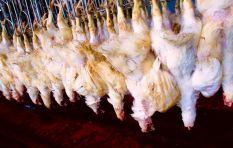 Chickens left hanging upside down after being stunned while bacteria thrives