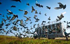 Master Class: Pigeon racing