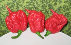 You literally need gloves to handle Carolina Reaper - the world's hottest chilli