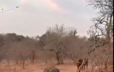 [WATCH] Safari that could have gone horribly wrong as buffalo charges vehicle