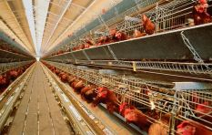 Chickens bred for meat live only 33 days before they are slaughtered